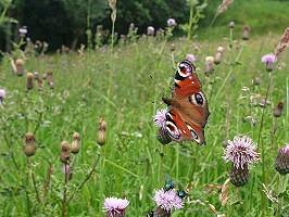 Butterfly Numbers Boosted by Balanced Grazing