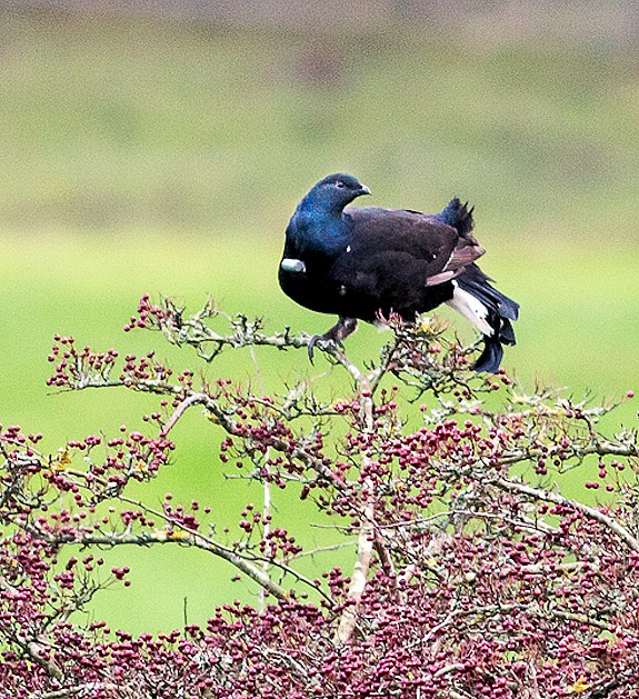 Black Grouse Recovery