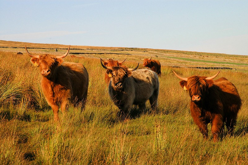 Cattle Grazing for Natural Sward Recovery